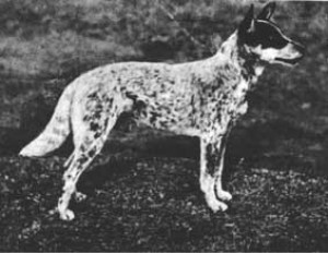 ajalugu_nipper---bred-by-harry-bagust-in-1899.jpg